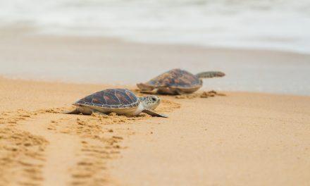 Wild nights: Sea Turtle Nesting on Oak Island