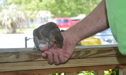Putter, the Holden Beach Squirrel with a Sweet Tooth, Gets Worldwide Attention