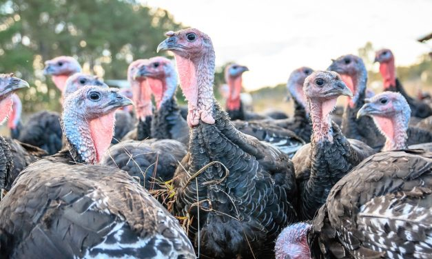 Humble Roots in Wilmington Takes Turkey Farming to its Roots