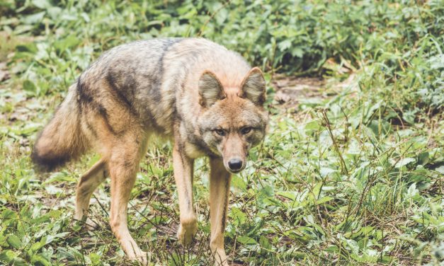 Coyotes in the County