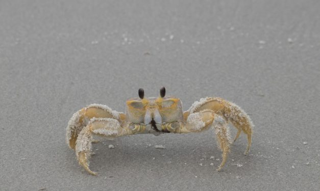 Have You Ever Heard of Ghost Crab Hunting?